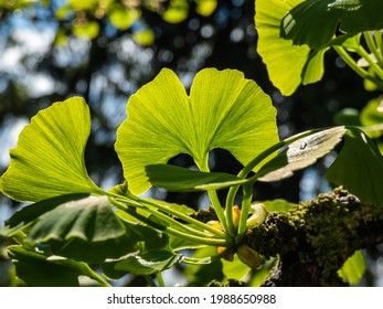 Beautiful macro of detailed, green fan-shaped leaves with veins radiating out into the leaf blade of ginkgo (ginkgo biloba) in summer with dark, blurred bokeh and bright backlight background