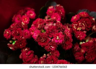 beautiful macro of a flower, kalanchoe
