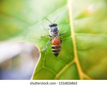 Beautiful macro honeybee.
