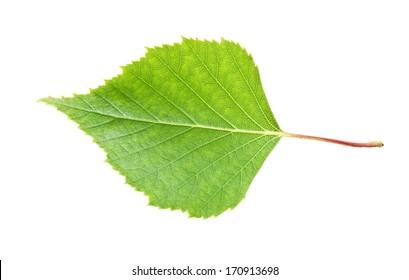 Beautiful macro photo of birch leaf, isolated on white background