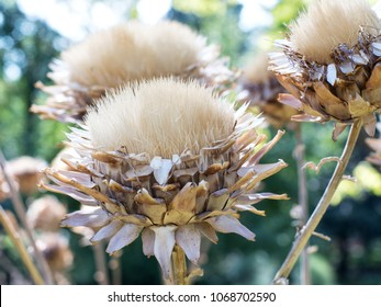 Beautiful macro photo of dried flowers of the Cynara cardunculus (artishoke).