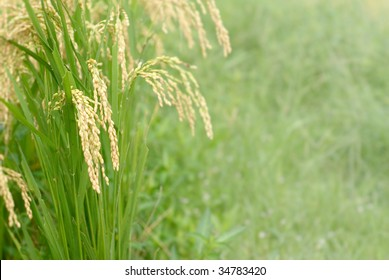 It is a beautiful macro rice with white.