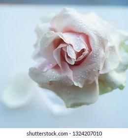 Beautiful macro rose, close up