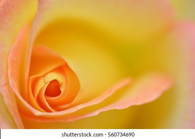 Beautiful macro of a yellow rose flower