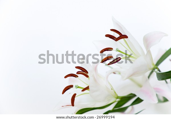 beautiful madonna lily on white background