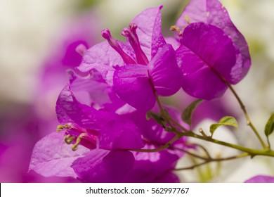 Beautiful magenta bougainvillea glabra choisy flowers