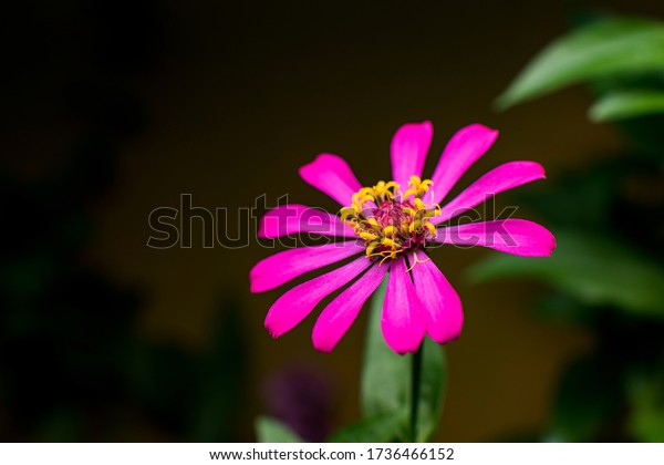 Beautiful magenta dahlia flower with dark blurred background