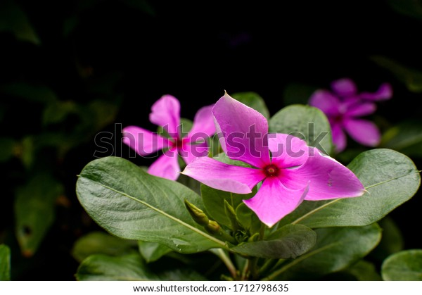 Beautiful magenta flower close up in shallow depth of field with green leaf and dark background