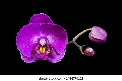 Beautiful magenta flower of a moth orchid with buds, isolated on black background
