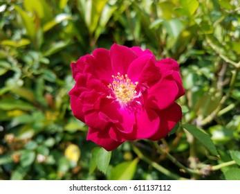 a beautiful magenta tea rose.