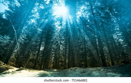 Beautiful and magical pine tree forest in winter, with snow an sunlight shining through the trees creating mystical sunbeams