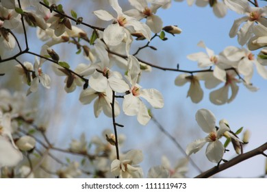 Beautiful magnolia blossom against blue sky