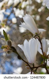 Beautiful magnolia blossom close up