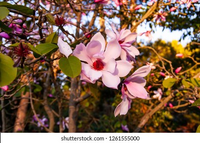 Beautiful Magnolia Blossoms