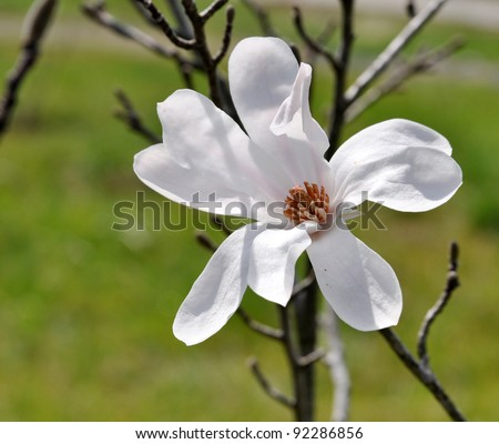 Beautiful Magnolia Cylindrica Flower On Green Stock Photo Edit Now