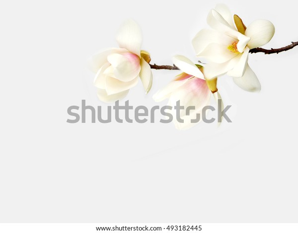 Beautiful magnolia flower bouquet blooming on white background