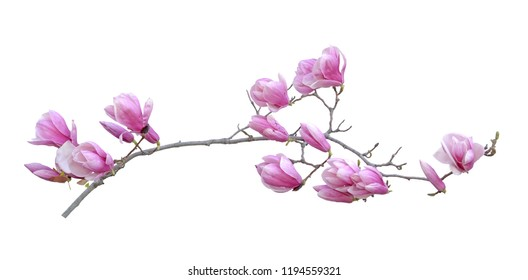 A beautiful magnolia flower isolated on white