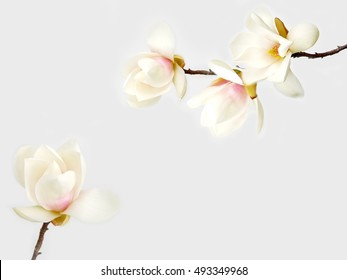 Beautiful magnolia flower  on white background
