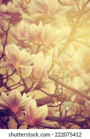 Beautiful magnolia flower and sunlight