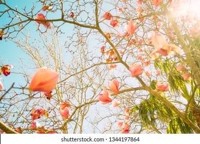 Beautiful magnolia flowers in morning sun. Spring