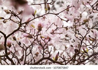 Beautiful magnolia flowers in the trees