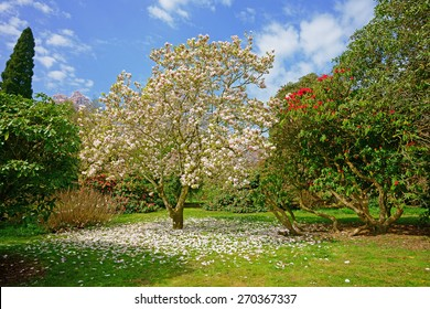 A beautiful Magnolia tree, Magnolia campbellii, with pink flowers in spring, Lanhydrock Gardens, near Bodmin, Cornwall, United Kingdom