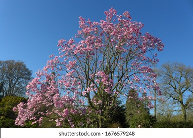 A beautiful Magnolia tree with deep pink flowers against a blue sky, in a low angle shot
