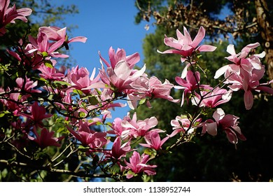 Beautiful magnolia x soulangeana tree full of pink blossoms in springtime