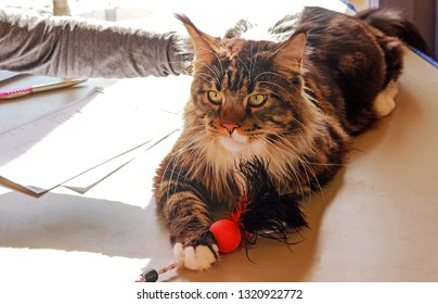 beautiful main coon cat lying on a desk at a cat show, being assessed by a jury member