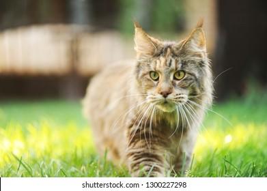 Beautiful maine coon cat outdoor