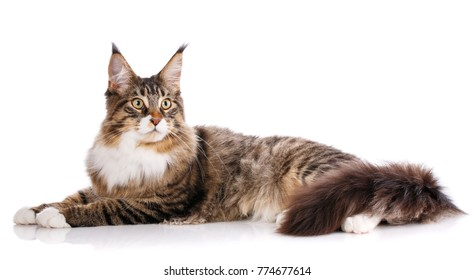 Beautiful maine coon cat, young Maine Coon cat