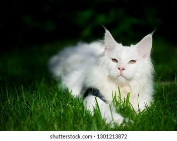 Beautiful maine coon cats portrait