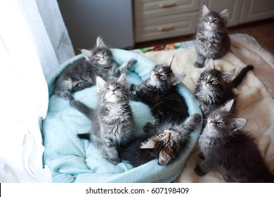 Beautiful Maine Coon kittens blue and black colored lying in a cat's blue sofa