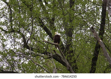 beautiful majestic perched bald eagle looking left