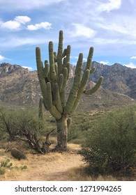 Beautiful majestic saguaro in Tucson, Arizona. We came across this saguaro while hiking in the Catalina State Park.