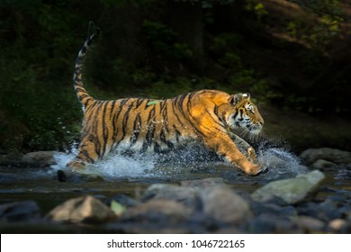 Beautiful and majestic Siberian Tiger running fast in a river on a sunny day, making splashes. Amazing predator and endangered mammal. Very fast, dangerous and clever animal.