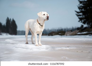 beautiful majestic white labrador retriever dog standing in nature with snow and sunshine