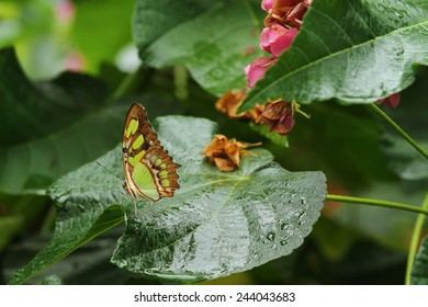 A beautiful Malachite butterfly on a wet leaf