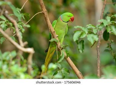 beautiful male Alexandrine Parakeet (Psittacula eupatria) in Thai forest