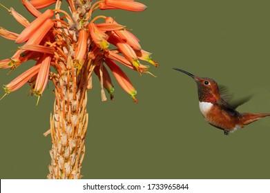 Beautiful male Allen's hummingbird feeding on aloe flowers. Photo taken in Southern California.