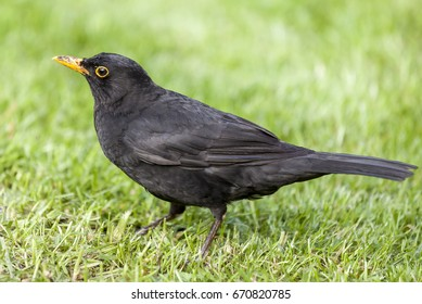 Beautiful male  blackbird (Turdus merula) close up