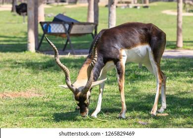 beautiful male blackbuck (Antilope cervicapra) eating grass on Green meadow.