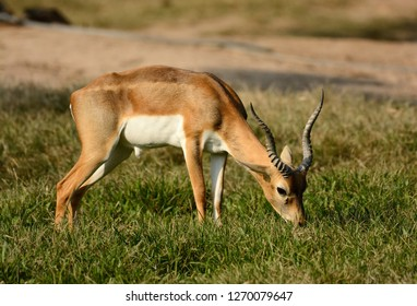 beautiful male blackbuck (Antilope cervicapra) standing on ground