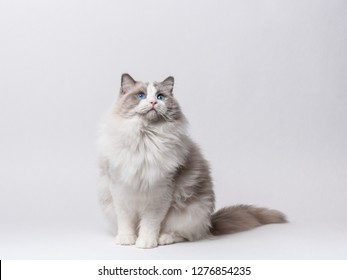 A beautiful male blue bicolor Ragdoll purebreed cat on a white background.