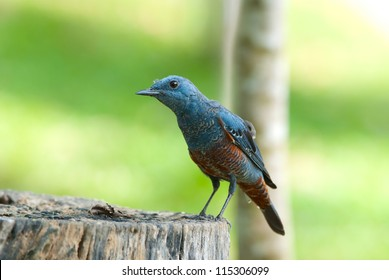 beautiful male blue rock thrush (Monticola solitarius) standing on log