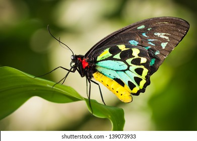 Beautiful male Cairns birdwing butterfly  (Ornithoptera euphorion) on a leaf