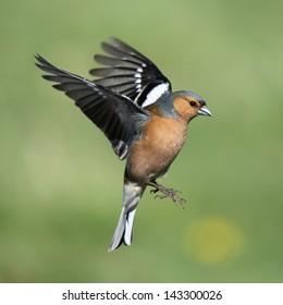 A beautiful male Chaffinch in flight