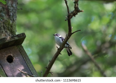 Beautiful male Collared Flycatcher, Ficedula Albicollis, by his nesting box