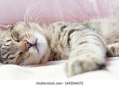 beautiful male domestic cat sleeps on the bed.