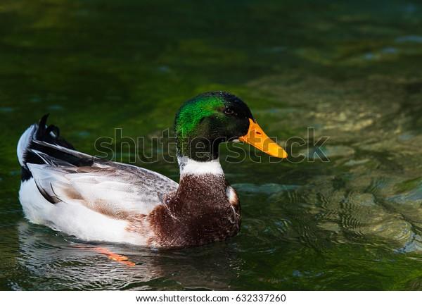 Beautiful male ducks swim in the lake